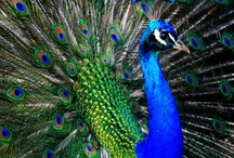 Peacock Passion / I'm crazy about peacocks.  The colors, the beauty, the majesty.   / by Debbie Anderson Nolen