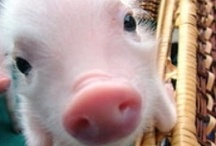 pigs for cailee