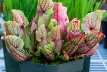 Sarracenia | N. American Pitcher Plants / North American Pitcher Plants are large tubular Carnivorous Plants. These happen to be gluttonous when it comes to feeding, Often toppling over from the weight of insects it consumed.  They display beautiful colors of green, yellow, pink and purple.
