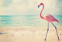 Flamingo / Animals