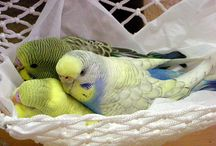 Budgies Lena and Louie