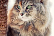 Siberian / Cat