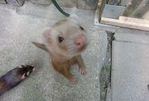 Meine Kleinen Kobolde-Frettchen /Ferrets / ,Ferrets,Frettchen und andere Süsse Tiere