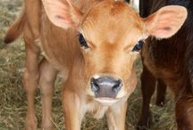 Baby cows / Baby cow pictures