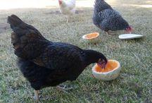 Hühnerstall und -haltung
