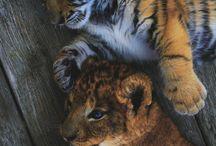 Tigriskölykök