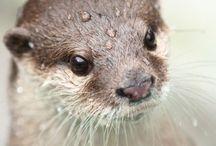 カワウソ otters