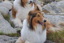 lassie De hond