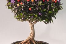 bonchi - chilli bonsai