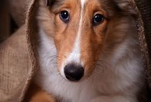 Collies, dogs, animals
