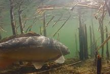 Underwater world / Beauty of carps