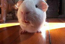 Guinea pigs ♥