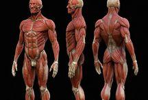 Anatomy human body