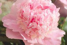 Peony Perfumed flowers