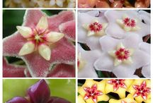 Hoya Plants + Epiphyllums / Hoya plants that I love! And cactus plants with big flowers.