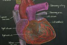 Анатомия 7