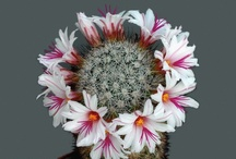 I' love the cactus flowers