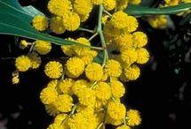 Australia: Native flowers