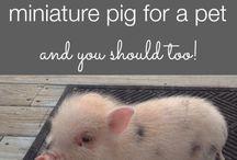 Sooo I want a tcup pig