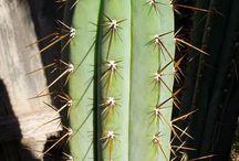 Spunky spines / Cactus