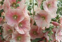 Stokroos - Alcea rosea