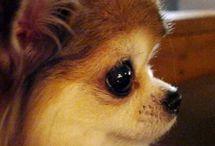 Chihuahuas long coat. / Chihuahuas