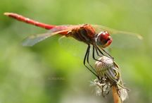 Dragonfly Luv / by Sherry Chickowski Crozier