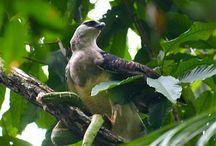 My Wonder Zoo : SilverHawks ! / Diurnal Raptor