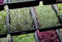 micro greens and hydroponics