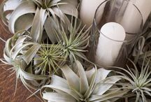 sukulents and airplants