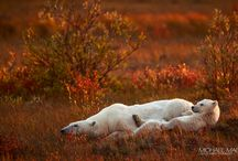 Arctic Wildlife / by Michael Maes