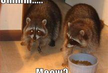 Raccoons! / Because Boss Man likes them :)