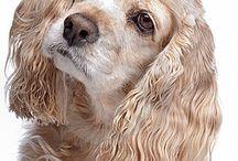 Spániel kutya