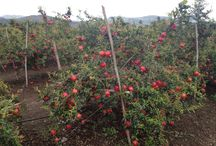 Fresh Pomegranates:Shimla Hills ventures into the POM territory!  / Yet another milestone in our history- fresh Pomegranates (POM) from India!  Though pomegranate originated in Iran and Israel, it is the Indian variety (esp. Bhagwa) which is revered for its taste and texture worldwide. Our team of experts have visited the farms for quality check last week.