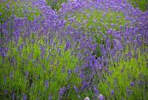 lavender levendula