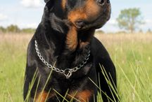 Rottweiloved / Rottweilers are silent, protectors and friends. I am in love with this breed!