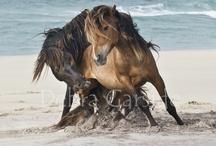 Fav ISLANDIC HORSES