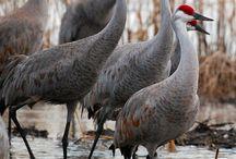 ΓΕΡΑΝΟΙ  ( CRANES ) / Ο Γερανός είναι καλοβατικό πτηνό της οικογενείας των Γερανιδών, που απαντά και στον ελλαδικό χώρο. Η επιστημονική ονομασία του είδους είναι Grus grus και περιλαμβάνει 2 υποείδη. Βικιπαίδεια
