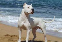 Dogo Argentino/Capone