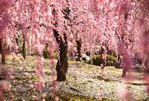 Lavender & Lilac & Sakura