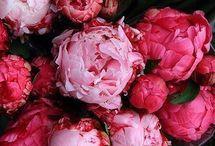 Rózsaszín bazsarózsák