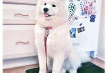 Samoyed♡