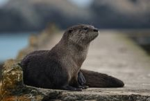ANIMAL • Otter