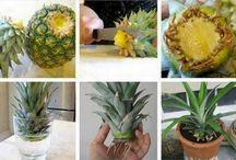 pour faire une plante a l'ananas