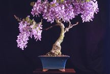 Bonsai / Bonsai (plantings in tray, low-sided pot,) a Japanese art form using miniature trees grown in containers. Similar practices exist in other cultures, including the Chinese tradition of penjing from which the art originated, and the miniature living landscapes of Vietnamese hòn non bộ. The Japanese tradition dates back over a thousand years, and has its own aesthetics and terminology. . . . . . . . . . . . . . . ♥Much_Love_Joanna MaGrath♥ ___Joanna@JoannaMaGrath.com__http://www.JoannaMaGrath.com / by Joanna MaGrath