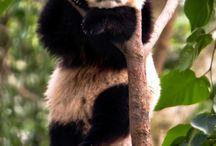 Pandas!! <3