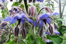 Eetbare bloemen en wildpluk