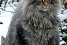 Cats - Maine Coon and Norwegian Forest beauties