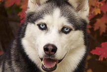 Cute Huskies / Sweet, energetic, adorable Huskies