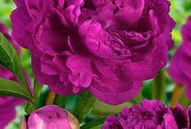 purple roses & peonies